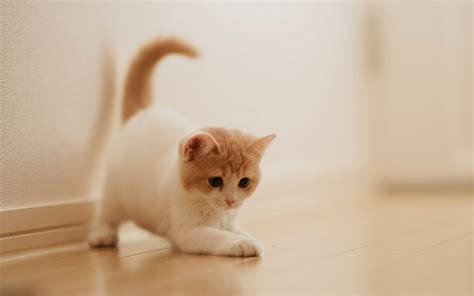 25 foto dan gambar kucing anggora harga kucing anggora sealkazz