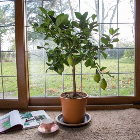 small indoor trees nice concept for indoor tree planter box homesfeed