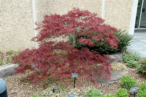 Home Decor Winnipeg by Red Dragon Japanese Maple Acer Palmatum Red Dragon In