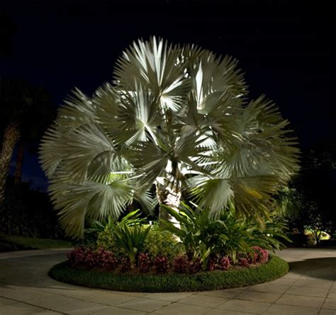 bismark palm