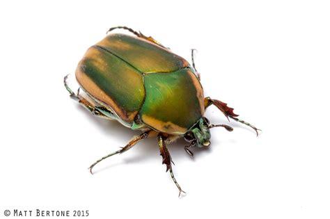 ncsu pdic june beetle time