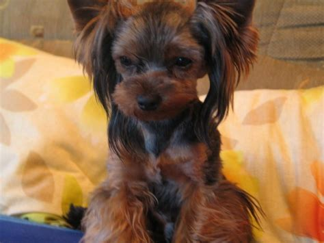 hairstyle for yorkshire terrier yorkshire terrier hairstyles hairstyle gallery