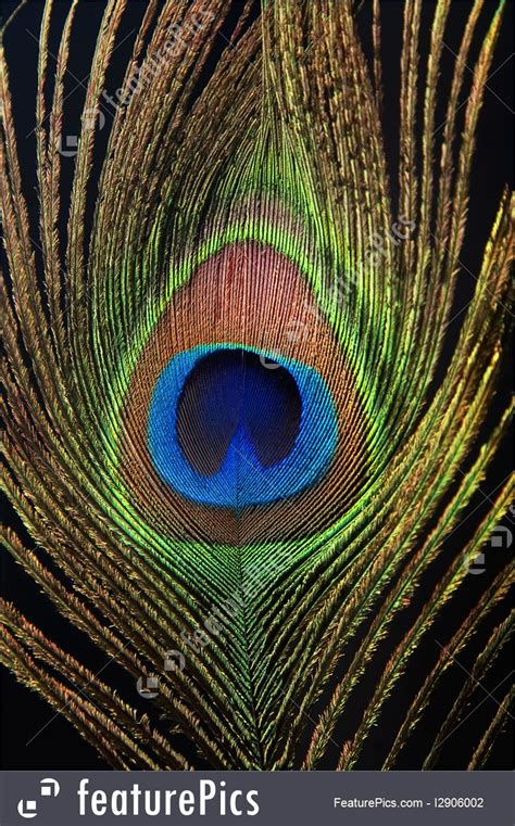 detail  peacock feather eye picture
