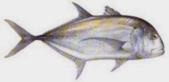Joran Pancing Kelas Menengah sakaw mancing 13 jenis ikan kuwe gt trevallyrs