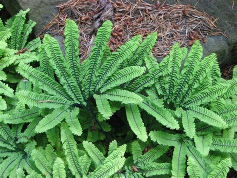 Maidenhair ferns - Save Our Green Invertebrates Animals Names