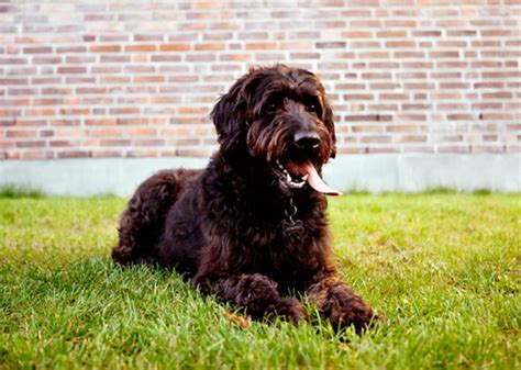 What Breed Of Is Fashionable Right Now by Fascinated With Doodle Or Oodle Dogs Here Are The Top 5