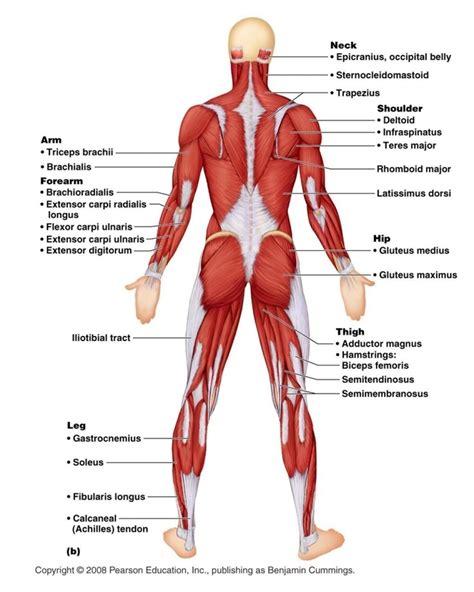 muscular system diagram blank diagram of human arm blank diagram of bones