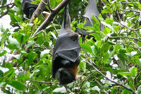 grey headed flying fox habitat diet reproduction