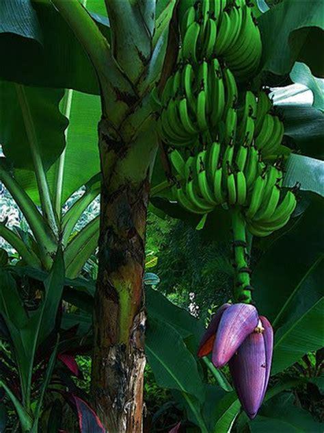 how before a banana tree bears fruit scriblets going bananas