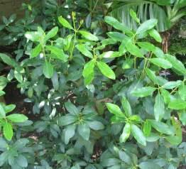file acokanthera oblongifolia poison arrow plant from