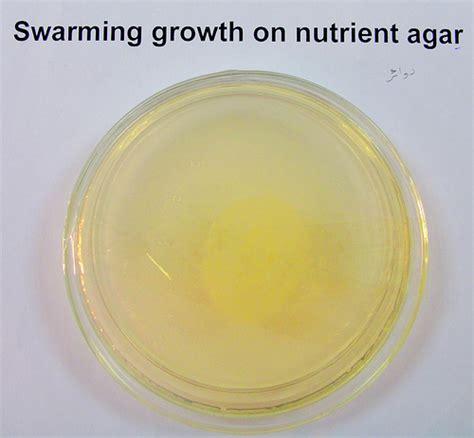 Media Mikroba Nutrient Agar Biolife swarming growth on nutrient agar flickr photo