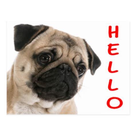 hello pug puppy greeting postcards zazzle co uk