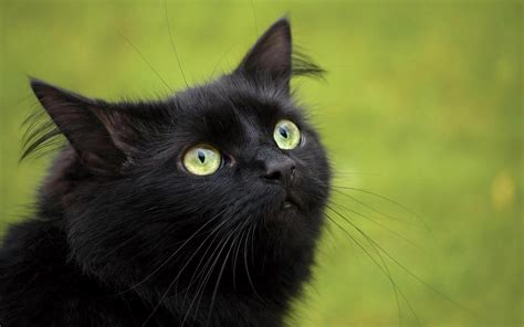wallpaper cat green black cat with green eyes wallpaper hd animals wallpapers