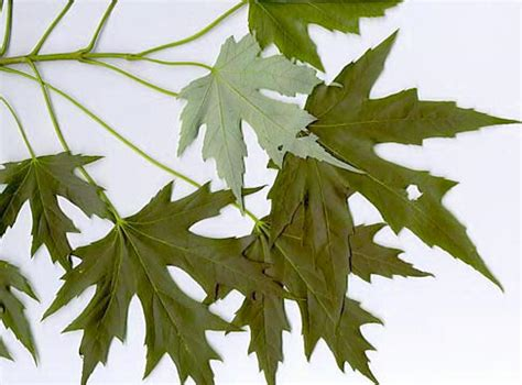 how to identify maple trees waterford citizens association wca of waterford virginia