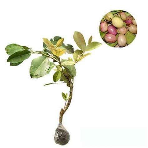 Benih Biji Buah Juwet Jamblang jual tanaman juwet jamblang putih bibit