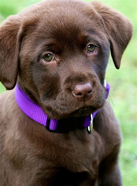 chocolate lab puppy pictures pictures of chocolate labs puppies www imgkid the image kid has it