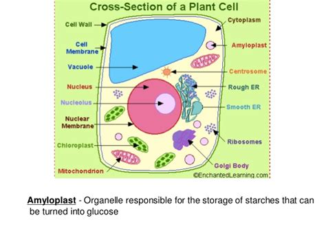 cross section of a cell membrane cross section of labeled plant and animal cell
