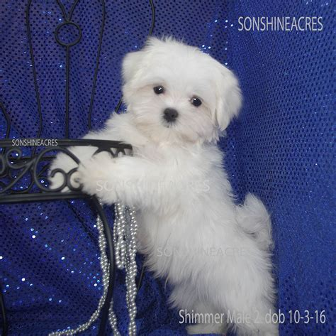 baby maltese puppies baby maltese puppies www pixshark images galleries with a bite