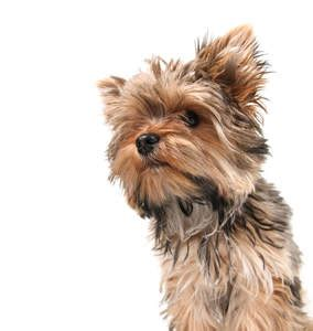 yorkie nose terrier dogs breed information omlet