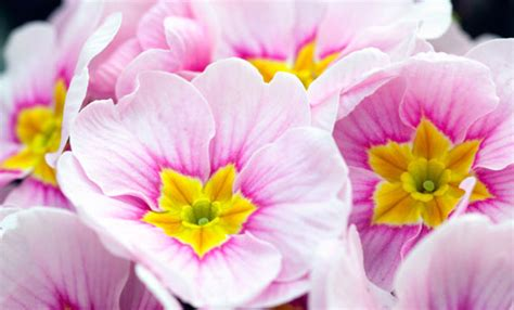nomi fiori primaverili fiori primaverili ecco tutte le variet 224 leitv