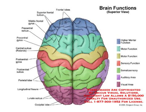 brain diagram top view brain functions superior view