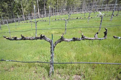 Trellis System For Grapes trellising grapes at home trellis trained and pruned syrah 4 6 spurs on each side evenly