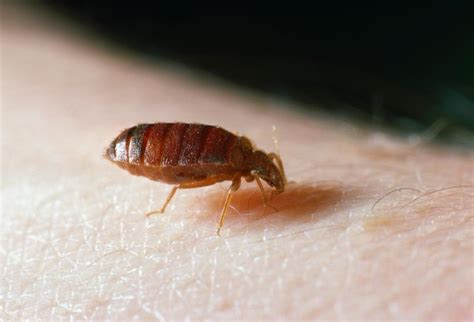 how bed bugs spread bedbugs may spread lethal disease study ny daily news