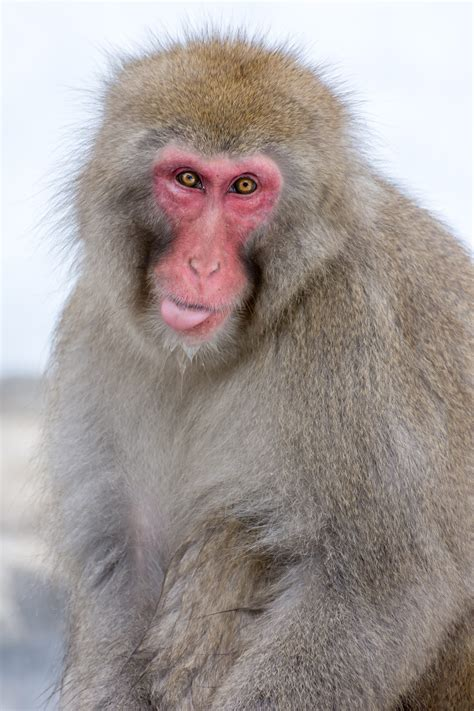 A Guide To Visiting the Jigokudani Snow Monkey Park in ...