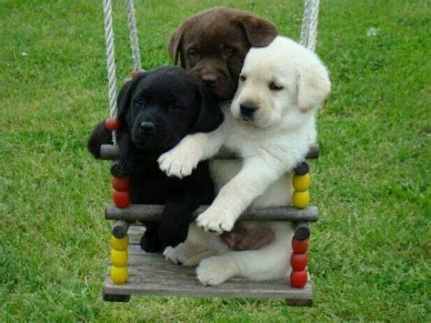 swing labs just too darn cute puppies on a swing labrador