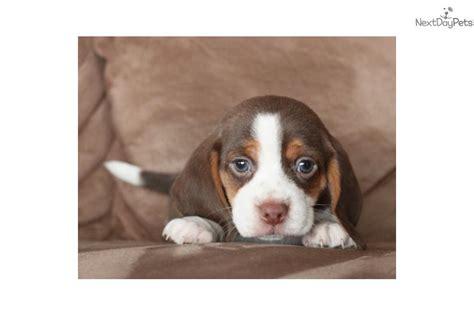 puppies for sale st joseph mo teddy beagle puppy for sale near st joseph missouri 88396f78 4301