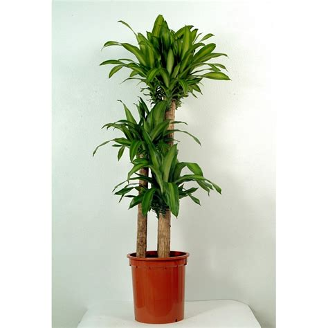 send massangeana indoor plant flower gifts  dubai