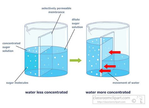 osmosis diagram osmosis clipart clipart suggest