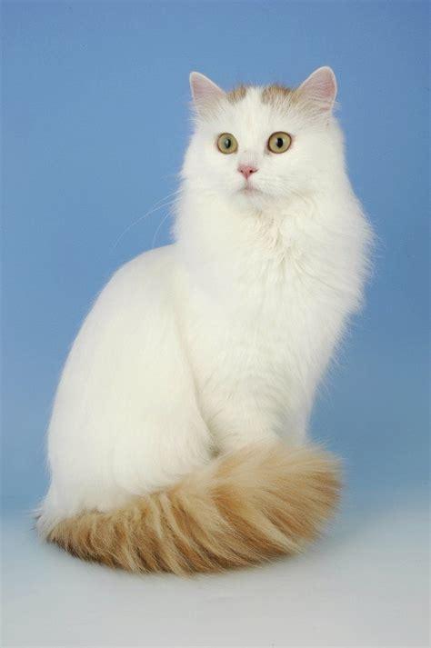 van pattern cat definition pin by mytexas treasures on the turkish van cat pinterest