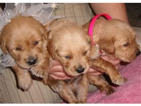 golden retriever puppies wny golden retriever puppies in missouri