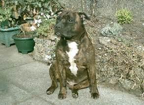 american pit bull terrier kennel club staffordshire bull terrier or staffie stafford