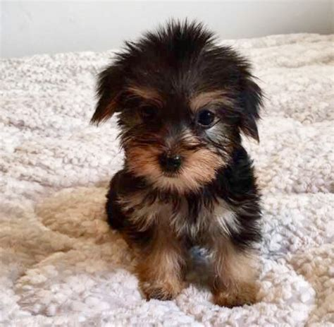 puppies for sale california view ad morkie puppy for sale california los angeles usa