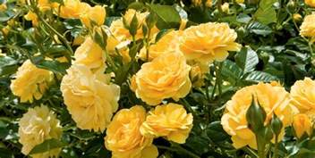 top 10 tips for growing beautiful roses garden pics and tips
