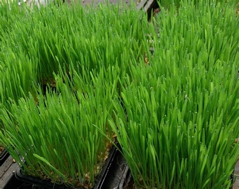 Wellness Wheat Grass search results for health and wellness grass