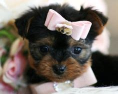 teacup pomeranian for sale in kent 1000 images about teacup dogs on teacup yorkies for sale teacup yorkie