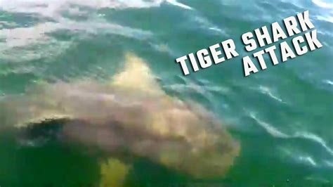 shark bites boat tiger shark bites boat during alabama deep sea fishing