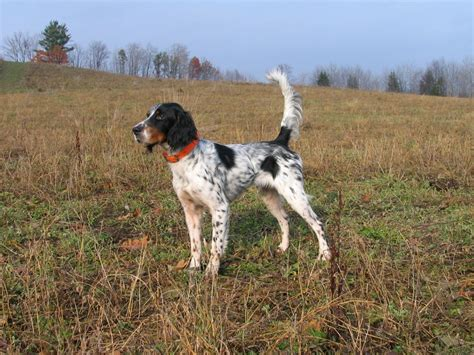 English Setter Gun Dog | english setter hunting dogs pinterest english