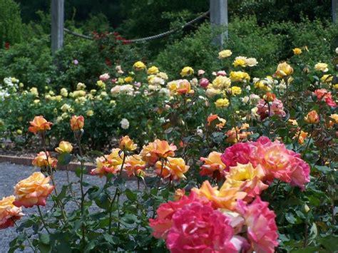 backyard rose gardens the gardens