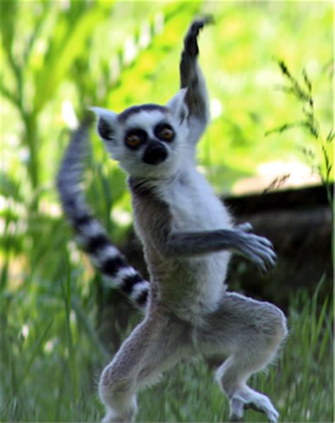 Lemur I Like To Move It Move It by You Ve Got To Move It Move It Spear Education