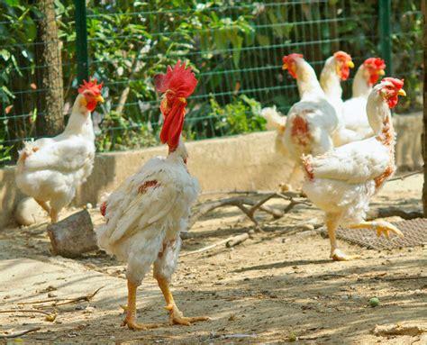 galline ovaiole alimentazione alimentazione delle galline durante la muta vita in cagna