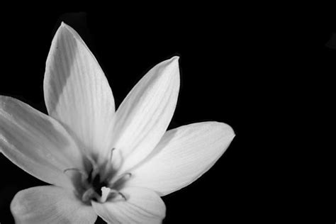 black and white flower background black and white flower background 3 free stock photo