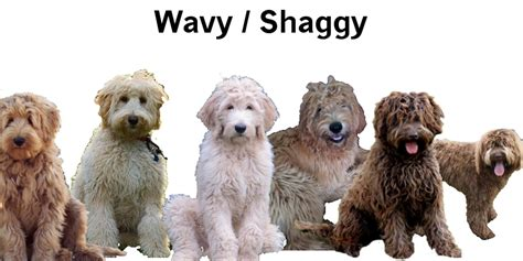 goldendoodle hair types goldendoodle coat types everything doodle everything
