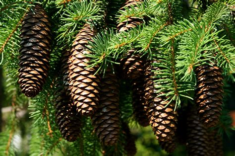 pinecones related keywords suggestions pinecones long