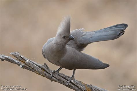 grey go away bird corythaixoides concolor ref cadw20591