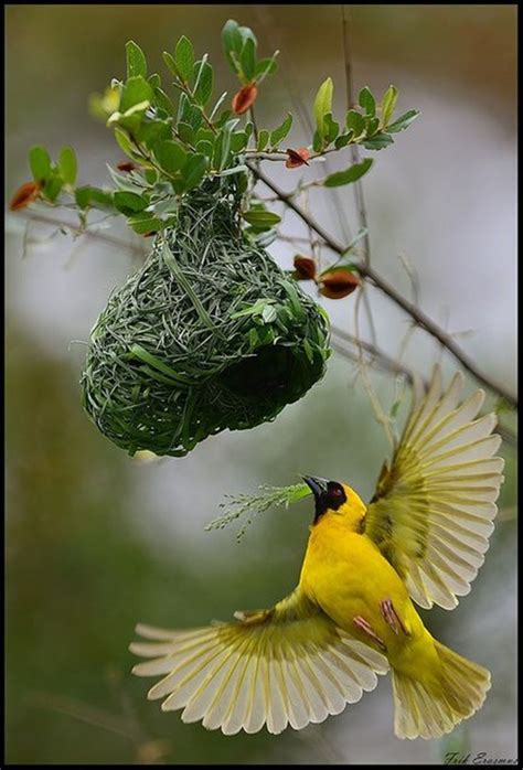 nest building gardening and birds pinterest