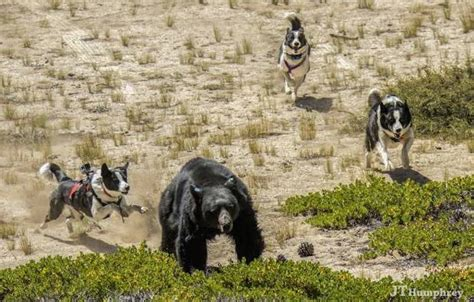 karelian puppies karelian breed information and images k9 research